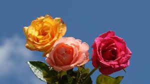 أجمل صور وخلفيات الورد الجوري من تجميعي 2015 Flower Wallpapers