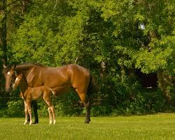 nutrition needs of lactating mares