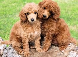 apricot black standard poodles