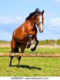 Bay Horse Jumping Over A Hurdle Riderless Stock Photo K26863047 Fotosearch