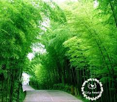 200 moso bamboo seeds bonsai tree fast