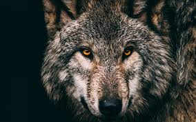 تحميل خلفيات الذئب الرمادي حيوانات الغابة الحيوانات المفترسة