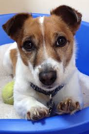 Pin by Wendy Eckerle-Goodman on Love my Jack Russell | Jack russell