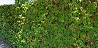 Climbing Plants Bulleen Art Garden