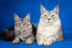 the best ts for cats with diabetes