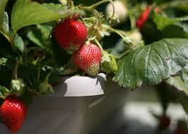 fruits you can grow organically indoors