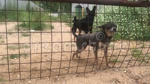 Angry Toy Terrier Dogs Barking Through The Fence Stock Video Video Of Friend Cute 153220521