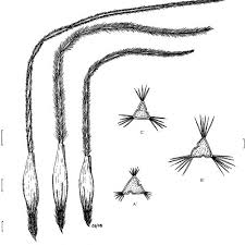 Flowers of related species Stipa barbata Desf., from Tunisia: A, Stipa... |  Download Scientific Diagram