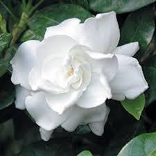 gardenia fortuniana gardenia