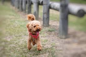 toy pudel hundere charakter wesen