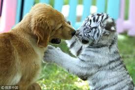 golden retriever puppies make friends