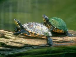 30 cute desktop turtle wallpapers