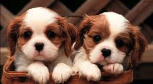 golden retriever puppies live wallpaper