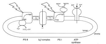 photosynthesis bioenergetics