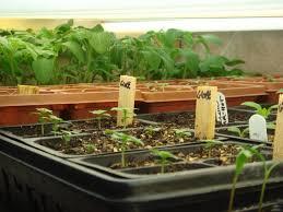 starting seeds indoors under lights