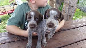 german shorthaired pointer puppies 5