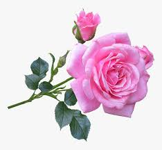 pink rose flower png good morning
