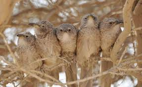 Attention skills in a nonhuman cooperative breeding species