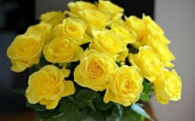 29 yellow rose hd wallpapers