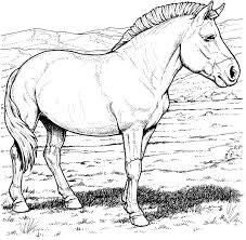 Kids N Fun Kleurplaat Paarden Rassen Przewalskis Wild Paard
