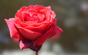 free images red rose flower bloom