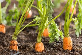 How to grow carrots from tops