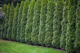 Creating A Natural Privacy Fence With Trees And Shrubs Engledow Group