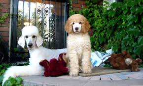 isle of standard poodles striving to
