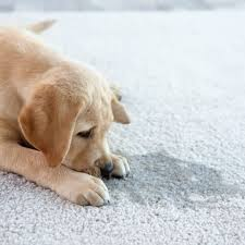 how to clean pet sns on carpet