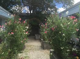 Plant Sweet Peas In Fall Enjoy Heavenly Fragrance In Spring Uc Marin Master Gardeners