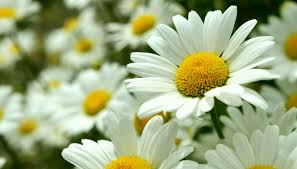 20 خلفية زهور رائعة عالية الدقة مجانا What Is Bokeh Daisy