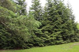 Need Privacy Plant Thuja Green Giant Kevin Lee Jacobs