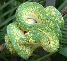 "radivs: ""Green Tree Python by Hillary Webb "" | Reptiles, Reptiles pet, Cute  snake"