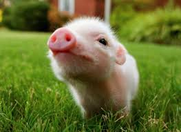 baby pig wallpapers top free baby pig