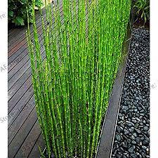 wanchen big 60 bamboo bonsai rare