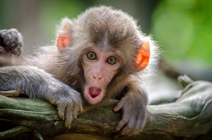 Monkey Business: Is A Monkey The Right Pet For You?