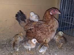 صور دجاج رمزيات و خلفيات فراخ بانواعها سوبر كايرو