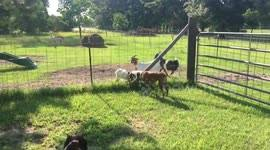 Newsflare Silly Goat Gets Her Head Stuck Head In Fence Twice In One Day On Texas Farm