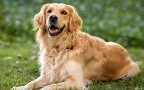 صور كلاب جولدن الذهبية خلفيات جميلة لمحبي الكلاب