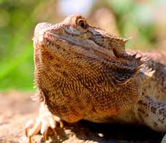 bearded dragon best harness and leash