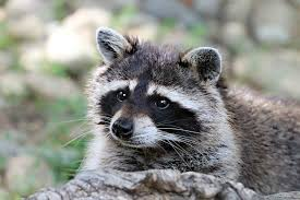 How To Get Rid Of Raccoons In The Backyard Toolzview