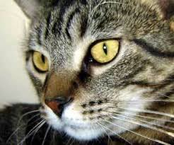 how to clean your cat s eyes how to