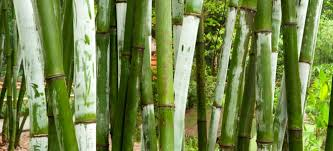 Live Bamboo Fencing Doityourself Com