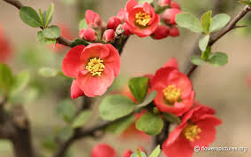 flowering quince hd wallpaper