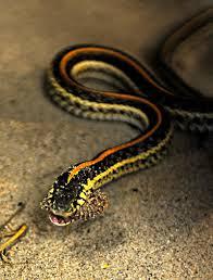 garter snakes of western washington