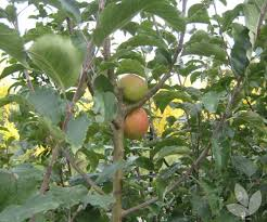 deciduous fruit trees collections