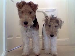 Pin by Grit-n-Lace on Wire Fox Terriers for Priscilla   Fox terrier puppy,  Fox terrier, Wire fox terrier