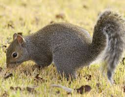 gray squirrel and eastern fox squirrel
