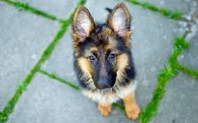 dog german shepherd wallpapers hd