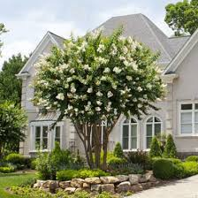 Natchez Crape Myrtle. Long-Lasting White Blooms - Gardeners and admirers  are blown aw… | Trees for front yard, Front yard landscaping, Front yard  landscaping design